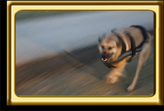 A black muzzled Rhodesian Ridgeback cross, Ebbey the canine actor, runs quickly along a path.  Blurred action photo.