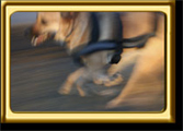 A black muzzled Rhodesian Ridgeback cross, Ebbey the canine actor, runs quickly along a path.  Blurred Medium Close Up action photo.