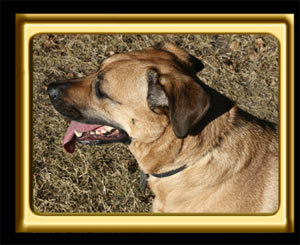 A black muzzled Rhodesian Ridgeback cross, Ebbey the canine actor overlooks a field.  OVerhead photo.