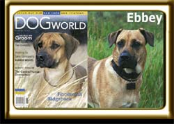 Ebbey, found starving in a garbage dump, looks very similar to a black muzzled Rhodesian Ridgeback purebred.