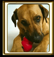 A black muzzled Rhodesian Ridgeback cross, Ebbey the canine actor, chews on a large red kong dog toy.