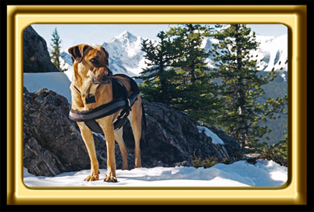 A black muzzled Rhodesian Ridgeback cross, Ebbey the canine actor stands along a mountain ridge at the Banff Gondola Summit.  The dog stands in front of large snowy rocks.