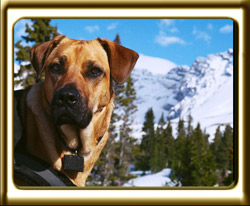 A black muzzled Rhodesian Ridgeback cross, Ebbey the canine actor poses at Parker Ridge in Jasper National Park, Alberta.  She is wearing the harness worn in the film Search Dog's Raven.