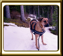 Standing on a snowy trail, Ebbey the canine actor listens for critters.  She is a black muzzled Rhodesian ridgeback.