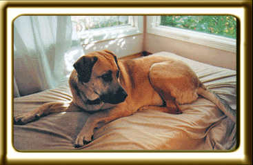 A black muzzled Rhodesian Ridgeback cross, Ebbey the canine actor lies at her window seat.