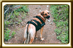 A black muzzled Rhodesian Ridgeback cross, Ebbey the canine actor looks mischievously back over her shoulder on a mountain hiking trail.