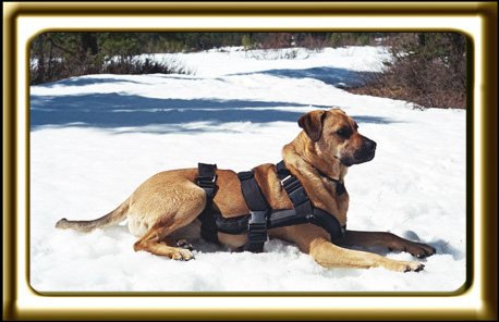 A black muzzled Rhodesian Ridgeback cross, Ebbey the canine actor cools herself down by lying in the snow after a spring time hike.