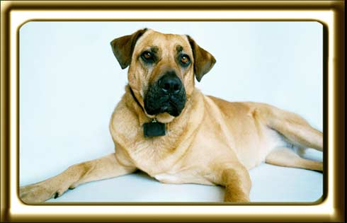 A black muzzled Rhodesian Ridgeback cross, Ebbey the canine actor poses for photos in an indoor studio against a white screen.