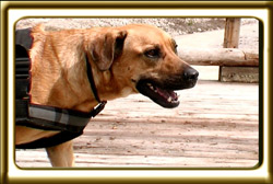 A black muzzled Rhodesian Ridgeback cross, Ebbey the canine actor walks on a bridge over a river.