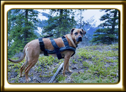 A black muzzled Rhodesian Ridgeback cross, Ebbey the canine actor poses in the mountains.