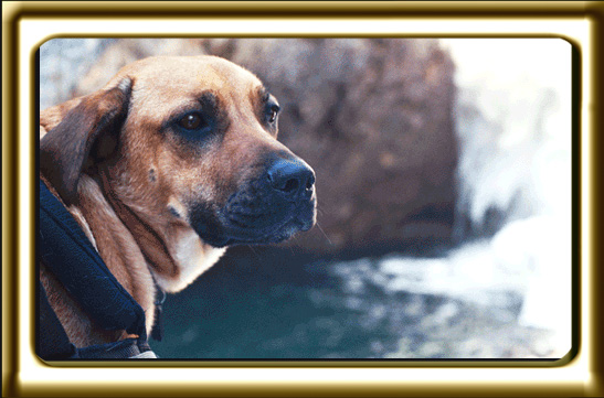 A black muzzled Rhodesian Ridgeback cross, Ebbey the canine actor looks back at camera while standing beside a mountain stream.