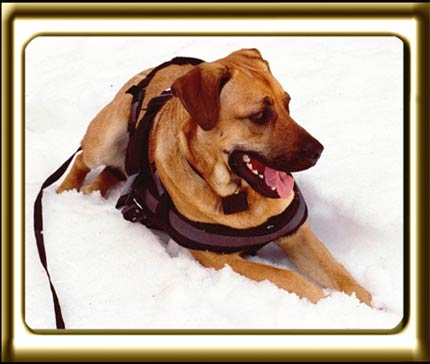 A black muzzled Rhodesian Ridgeback cross, Ebbey the canine actor lies in the snow to cool down after a hike.