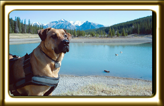 A black muzzled Rhodesian Ridgeback cross, Ebbey the canine actor is alert to her mountain surroundings.
