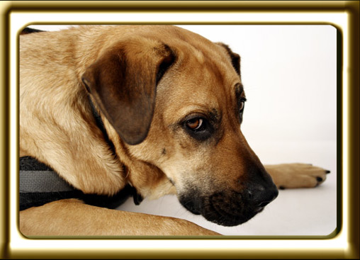 A black muzzled Rhodesian Ridgeback cross, Ebbey the canine actor glares at the camera.  She is posing for promotional photos against a white screen and ground mat.