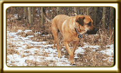 A black muzzled Rhodesian Ridgeback cross, Ebbey the canine actor walks in an aspen forest.