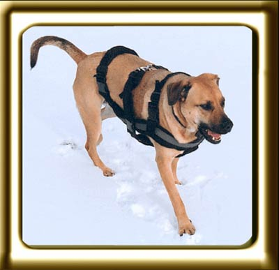 A black muzzled Rhodesian Ridgeback cross, Ebbey the canine actor walks in the snow.  She is wearing a harness.