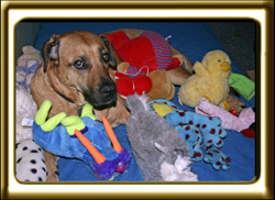 A black muzzled Rhodesian Ridgeback cross, Ebbey the canine actor is surrounded by colorful stuffed toys.
