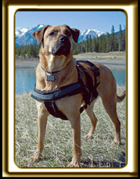 A black muzzled Rhodesian Ridgeback cross, Ebbey the canine actor Sniffs the Mountain Air.