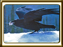 A raven lifts it's wings in the breeze while perched on on a snow bank.