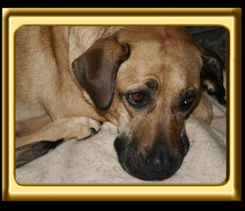 A black muzzled Rhodesian Ridgeback cross, Ebbey the canine actor Curled Up calmly on a rug.  Photo Close Up.