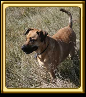 A black muzzled Rhodesian Ridgeback cross, Ebbey the canine actor stands in a dry grassy field.