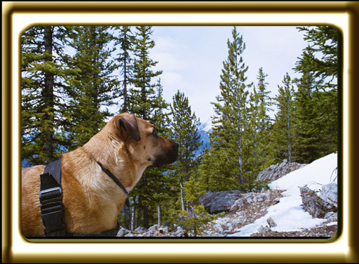 A black muzzled Rhodesian Ridgeback cross, Ebbey the canine actor looks up a rocky trail in the mountains.