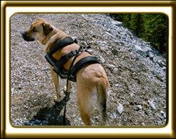 A black muzzled Rhodesian Ridgeback cross, Ebbey the canine actor stands on a rocky trail.  Shot taken overhead.