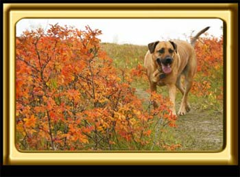 A black muzzled Rhodesian Ridgeback cross, Ebbey the canine actor sniffs around autumn brush.  The bush leaves are bright reddish orange.