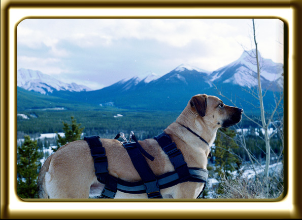 A black muzzled Rhodesian Ridgeback cross, Ebbey the canine actor overlooks the Kananaskis Golf Course and snowy valley from the Kananaskis Lodge look out  The mountains are blue with white snowy tops and the trees green.