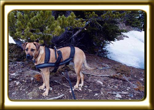A black muzzled Rhodesian Ridgeback cross, Ebbey the canine actor stands near a high elevation pine tree in the mountains.