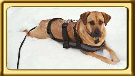 A black muzzled sable colored Rhodesian Ridgeback cross, Ebbey the canine actor lies with her belly in the snow to cool off.