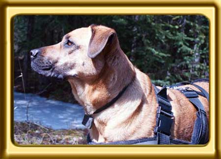 A black muzzled sable colored Rhodesian Ridgeback cross, a close up of Ebbey the canine actor watches something in the forest.